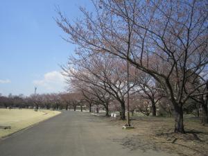 1.運動公園の桜