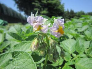 1.ジャガイモの花