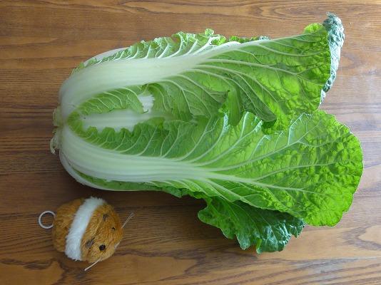 2月収穫の白菜