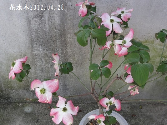 120428満開の花水木