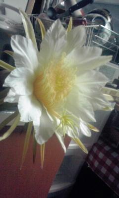 ドラゴンフルーツの花①