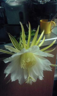 ドラゴンフルーツの花②