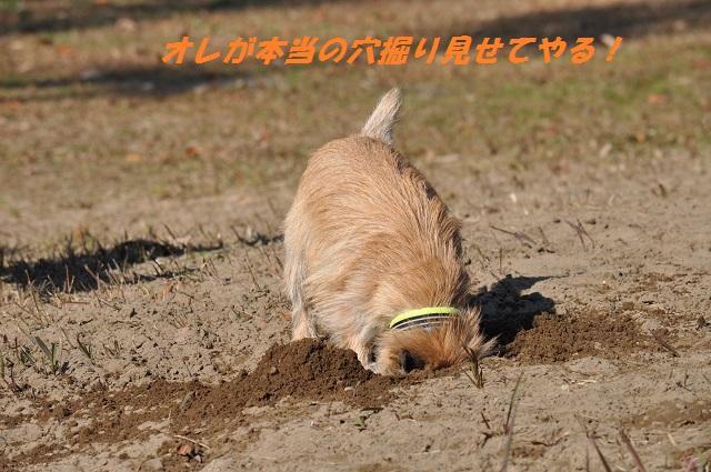20141123クイール穴掘り1