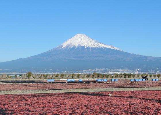 桜えびの絨毯をバックに富士山