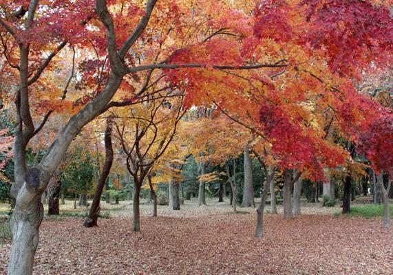 光が丘のモミジと枯れ葉