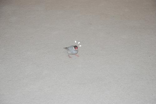 小さい文鳥