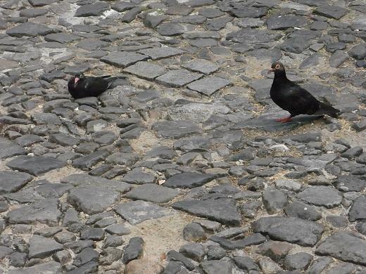 ブラジルの鳩