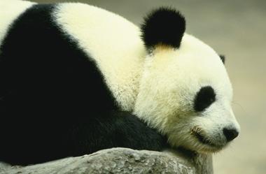 20141007 panda