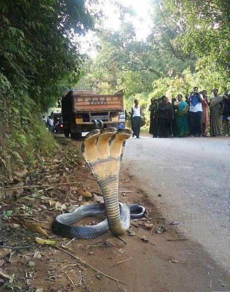triple cobra