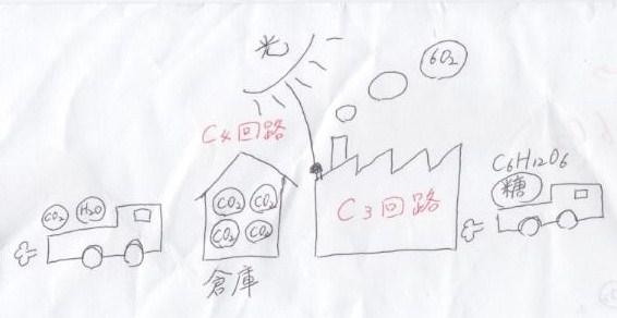 C3植物とC4植物-3