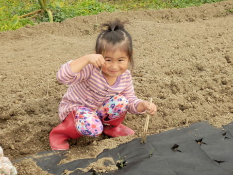 玉ねぎ植え