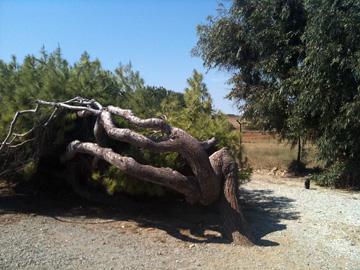 しだれ樹木