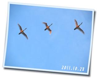 2011.10.28 白鳥