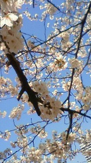20110407お花見01
