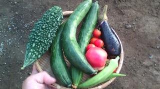 野菜収穫0827