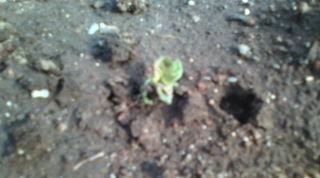 ジャガイモ芽