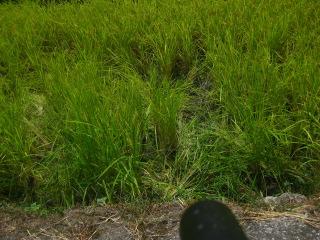 稲被害跡2