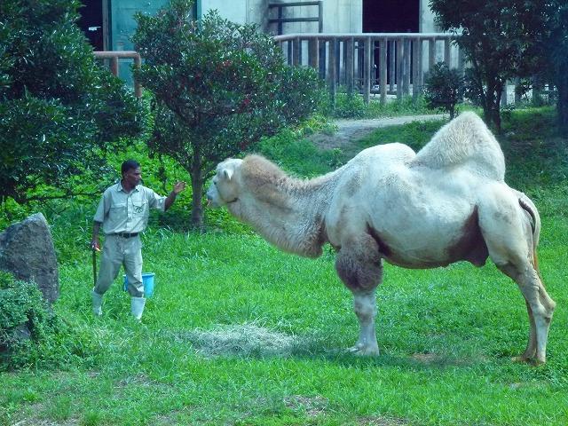 飼育員とラクダ