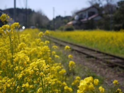 小湊菜の花14