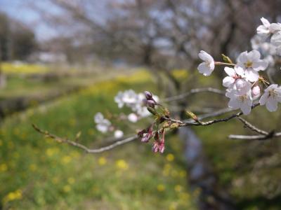 小湊菜の花29