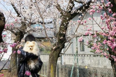 梅と桜と宇宙人
