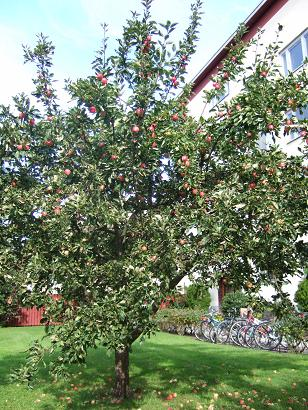appletree in the garden