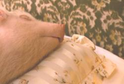 ベットで寝ているペットの豚・エルメス