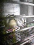 45-R1 シマリス ♂ 3月生まれ 左後足途中でない&左耳齧られている