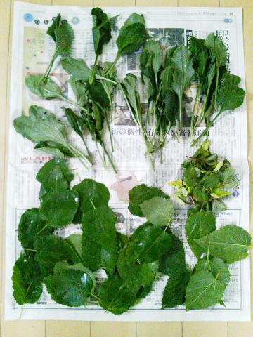 本日の収穫!(オオバコ、ワイルドストロベリー、桑)