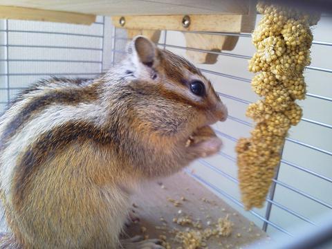 輝☆ 粟の穂を食べる