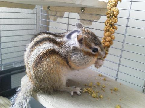 輝☆粟の穂を食べる
