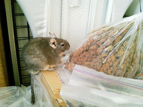 ティノくん、粟の穂を盗み食い!?