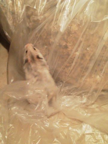 チカちゃん、ゴミ袋に登りたい