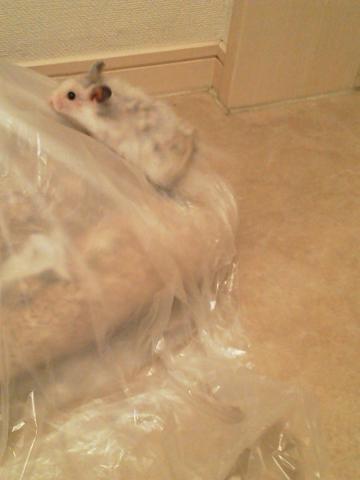 チカちゃん、ゴミ袋に登る
