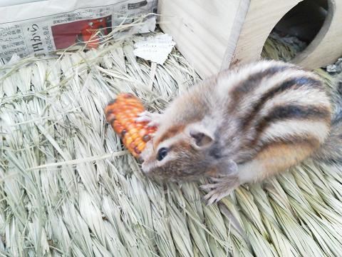 輝☆インディアンコーンを食べる