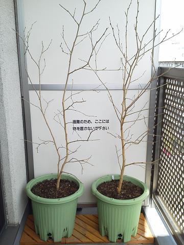桑の木(マルベリー)