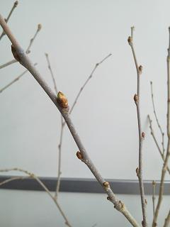 桑の木(芽)
