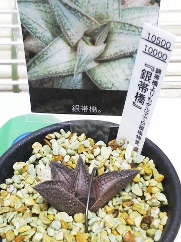 銀帯橋(多肉植物)
