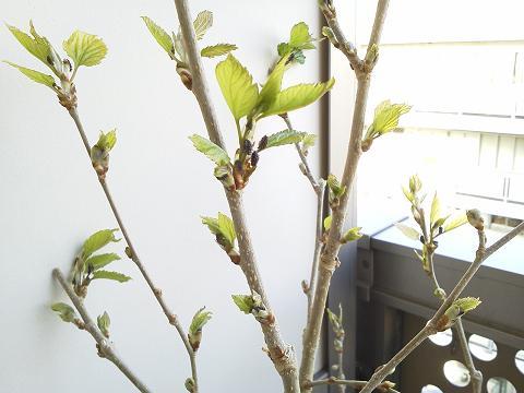 マルベリー(桑)の新芽と蕾