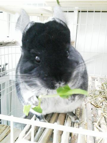 加奈ちゃん、ミニチンゲンサイを食べる♪