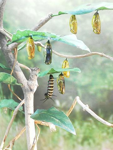 多摩動物公園 ~昆虫園~ オオゴマダラの蛹