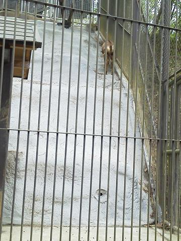 多摩動物公園 シャモア
