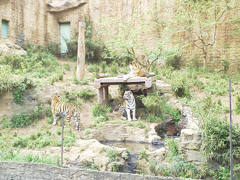 多摩動物公園 トラ