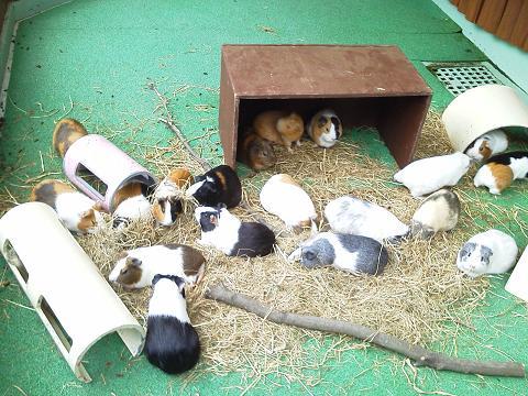 多摩動物公園 モルモット