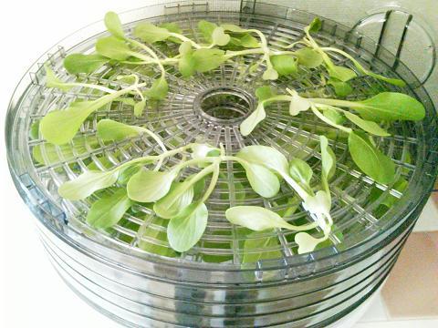 ミニチンゲンサイ乾燥前 (果物野菜乾燥器)