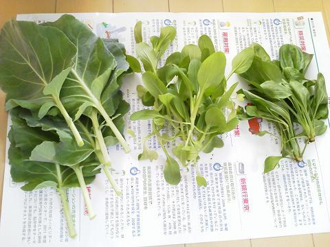 本日の収穫(春キャベツ、ミニチンゲンサイ、オオバコ)20120512