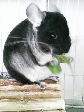 加奈ちゃん、オオバコを食べる