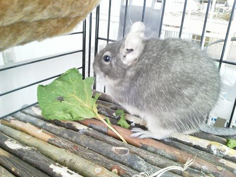 乾燥春キャベツを食べるティノくん