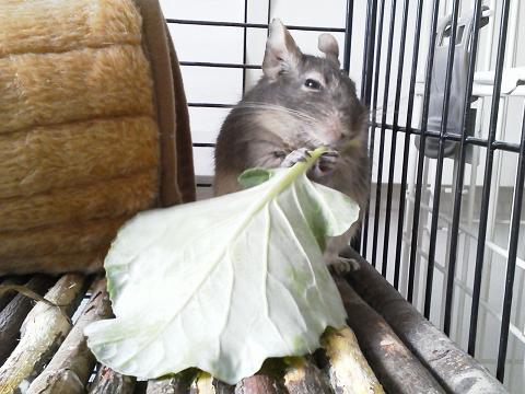 ティノくん、自家製キャベツを食べる