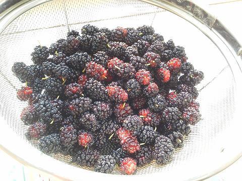 マルベリー(桑)収穫!20120602